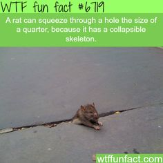Rats can squeeze their body into a hole the size of a quarter - WTF fun fact #CoolFacts