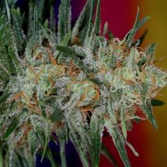 When it comes to flushing and cutting your marijuana plants, timing is everything.