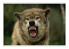 Wolf Growling, Snarling Wolf, Wolf Hybrid, Saarloos, Angry Wolf, Wolf Life, Animal Attack, Beautiful Wolves, Wolf Tattoos