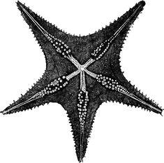 Underside of a starfish