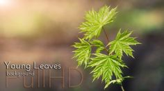 Young Leaves in Spring Forest Nature footage by cinema4design, from spring video collection on videohive. #spring #videohive #maple