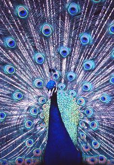 spectacular peacock
