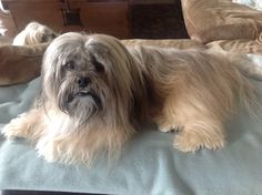 My other Lhasa Apso, Bailey after I groomed him....not Happy!!!!!!
