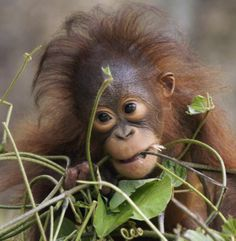 The tiny 18-month-old Borneon orangutan had just finished tucking into a snack of fresh leaves and branches