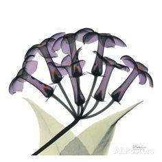 Purple Stephanotis Close Up Poster by Albert Koetsier at AllPosters.com