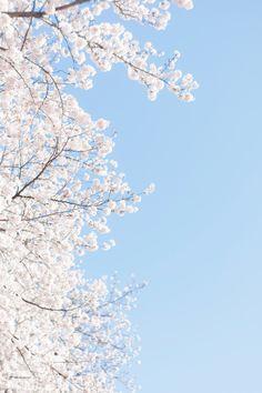 49 Ideas For Quotes Wallpaper Desktop Flower - Wallpaper Quotes Pastell Wallpaper, Blue Flower Wallpaper, Spring Wallpaper, Tree Wallpaper, Nature Wallpaper, Mobile Wallpaper, Cherry Blossom Wallpaper, Tumblr Wallpaper, Wallpaper Backgrounds