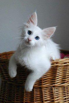 Beautiful white Turkish Angora Cats...cool cat stuff ♥