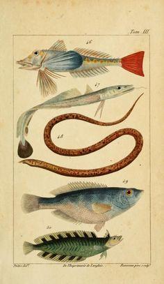 Histoire Naturelle des Principales Productions de l'Europe Méridionale, Antoine Risso, 1826.
