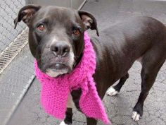 SAFE  Manhattan Center    PRECIOUS - A0996915    SPAYED FEMALE, BLACK / WHITE, PIT BULL MIX, 7 yrs  OWNER SUR - EVALUATE, NO HOLD  Reason PET HEALTH   Intake condition DISEASE Intake Date 04/17/2014, From NY 11223, DueOut Date 04/17/2014