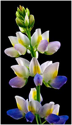 Lupine Sunrise (Lupinus hartwegii), gardening, landscaping, flowers
