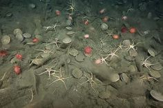 Dissolving brittle stars hint at implications of ocean acidification