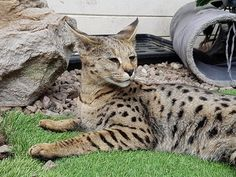 F1 Savannah Cat errr....Not For Sale - Cats from your wildest…