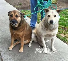 SAFE --- A4822393 4 yr old yellow Labrador Retriever mix.   A4822392 5 yr old black/red Labrador Retriever mix  Both girls are extremely friendly. Both are obviously a bit overweight. They were dropped off as 'strays' but we suspect they were actually his dogs. Came in 4/25/15. available 4/28/15. Baldwin Park shelter  https://www.facebook.com/photo.php?fbid=960270027318168&set=a.705235432821630&type=3&theater