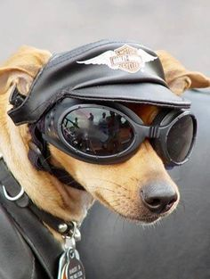 Harley Davidson Yellow Dog with Cap and Google Glasses
