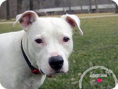 Sidney, OH - Pit Bull Terrier Mix. Meet Penny, a dog for adoption. http://www.adoptapet.com/pet/17636554-sidney-ohio-pit-bull-terrier-mix