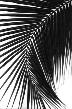 The palm tree helps create rhythm across the image because of the lines in the leaves. Black and White Photography masterpieces. Black And White Aesthetic, Black N White, Black And White Leaves, Black And White Canvas, Black And White Prints, Black And White Pictures, Palm Fronds, Foto Art, Belle Photo