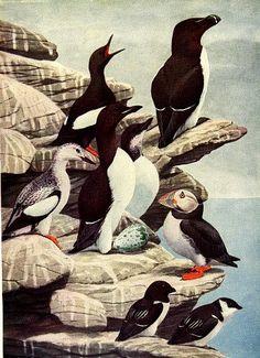 antique 1936 puffin razor billed auk brunnich murre black guillemot dovekie birds color plate illustrated by Louis Agassiz Fuertes