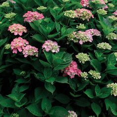 Pruning Hydrangeas, Fine Gardening, old or new wood determines when to prune Plants, Garden Shrubs, Beautiful Flowers, Pruning Hydrangeas, Hydrangea Garden, Fine Gardening, Perennials, Shrubs, Big Leaf Hydrangea