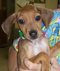Sue Ellen is an adoptable Dachshund Dog in Middletown, NY. 9-10 wk old cute pup . She will be small . She has 3 brothers also for adoption . ...