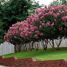 Crepe Myrtle Trees... A lovely way to hide a yard eyesore or have privacy from neighbors. #camouflage
