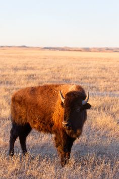 Bison. Like Byzantine. Sounds ancient. But not.