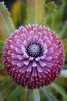 Garden Flowers Banksia By Jenny Ross Unusual Flowers, Rare Flowers, Amazing Flowers, Beautiful Flowers, Strange Flowers, Beautiful Gorgeous, Purple Flowers, Australian Wildflowers, Australian Flowers