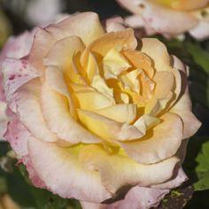 Point Defiance Rose Garden, Tacoma, Washington.