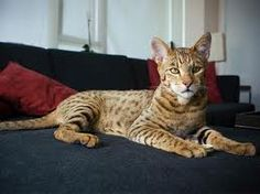 The Ashera cat was a type of hybrid cat marketed by the controversial company Lifestyle Pets. The hybrid cat breed was allegedly a cross between the African serval, the Asian leopard cat, and a dom… Exotic Cat Breeds, Rare Cat Breeds, Rare Cats, Exotic Cats, Cool Cats, Big Cats, Ashera Cat, Largest Domestic Cat, Grand Chat