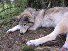 Soft Sculpture Taxidermy  Wolf
