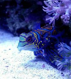 Chunk the Magic Dragon  #reef #polyplab #mixedreef #reefpack #reeftank #reefaholiks #reefrevolution #aquarium #socalreefer #instareef #eatsleepreef #fish #fishtank #sps #saltwater #saltwatergardens #livecoral #lps #reefingainteasy #allmymoneygoestocoral