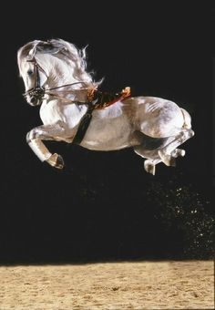 "Lippizaner Horse at the Spanish Riding School.""Airs above the ground"". All The Pretty Horses, Beautiful Horses, Animals Beautiful, Horse Photos, Horse Pictures, Lippizaner, Lipizzan, Spanish Riding School, Majestic Horse"