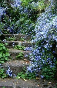 Campanula spills onto stone stairs.