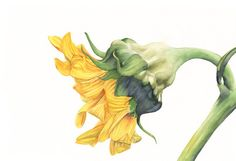 Sunflower print of watercolour painting S3915  5 by LouiseDeMasi