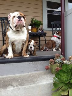 The Big Guy in the front is Tank 3 years old, and baby bear is 9 weeks old and Mama Peachez in the back she is 2 and a half yrs old. All chillin on the porch catching some air after some rainy days!