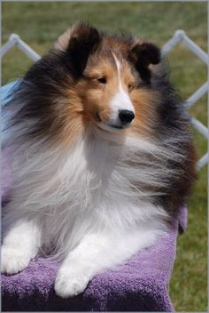 The Shetland Sheepdog originated in the and its ancestors were from Scotland, which worked as herding dogs. These early dogs were fairly Sheep Dog Puppy, Sheep Dogs, Dog Dna Test, Shetland Sheepdog Puppies, Dog Mixes, Herding Dogs, Rough Collie, Sheltie, Beautiful Dogs