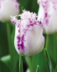 Tulip, Arietta, #4772
