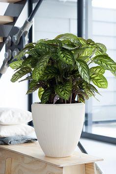 Calathea - woonplant van de maand september 2014 verzorgingstips zie: www.marechal.be