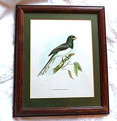 Framed John Gould Vintage Exotic Bird Print Trogon by FranciesFare