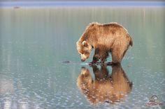 Brown Bear Admires Her Reflection, via Flickr.
