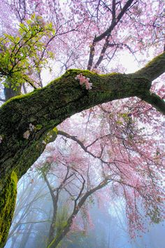 "Cherry trees blossoming in Spring ... ""The temple bell stops - but the sound keeps coming out of the flowers."" ~ Basho"