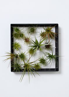 Airplantman Designs brings you 'AirplantFrame' - vertical gardening made simple. Plant a picture with airplants and create living art without the mess of soil. Made from powder coated aluminum and han Air Plant Display, Plant Decor, Container Plants, Container Gardening, Verticle Vegetable Garden, Air Plants Care, Plant Care, Square Wreath, Garden Frame