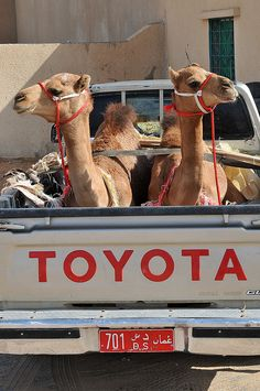 Toyota camels in Oman. ** ☺   - Explore the World with Travel Nerd Nici, one Country at a Time. http://TravelNerdNici.com