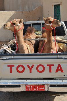 S9E8: DETOUR: Camel: Load a camel into a pick up truck.