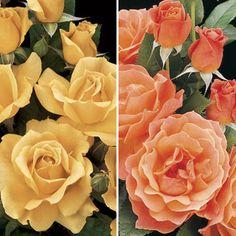 Livin' Easy™ & Easy Going™ 36-inch Tree Rose