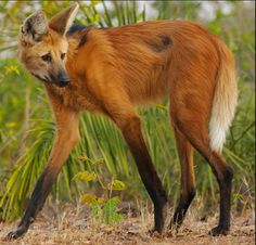 """The Beautiful Maned Wolf"" Rainforest Site"