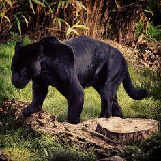 Black Jaguar by mark.tulloch, via Flickr