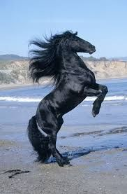 Afbeeldingsresultaat voor zwarte Fries Paard
