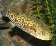 1000 images about brackish aquarium on pinterest for Freshwater puffer fish care