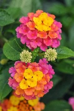 Pink and yellow Lantana - very common in this area - Southeast Gulf Coast Texas.  Reseeds itself making new floral bushes.