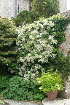 Hydrangea petiolaris stora ex mot vägg, mitt i som marktäck och staket ner i slänten 3-4st